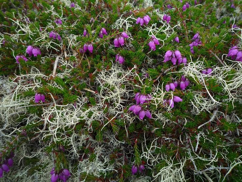 Bell Heather and Lichen