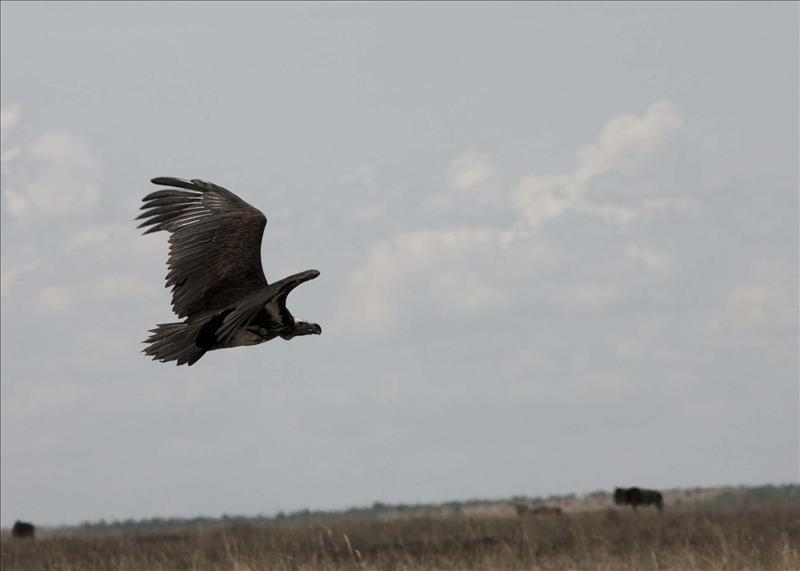 Lappetfaced-juvenile vulture taking off