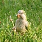 chicago-parrots-0-hw-park-798591.jpg