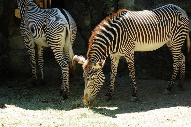 格利威斑馬 Grevy's Zebra