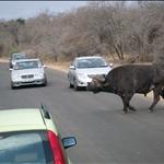 Crossing Buffalo