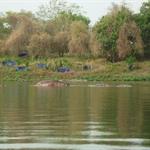 Wechiau - Nil- oder Flusspferde, was ist der Unterschied?