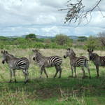Ruaha National Park 2006