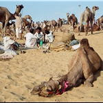 Pushkar camel fair  nov99