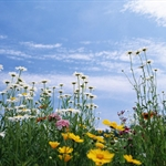 -daisy-flowers-under-sky-wild-daisy-flower-photos_1440x900.jpg