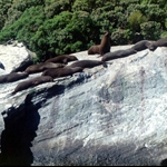 Seals milford sound