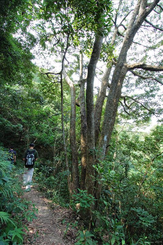 長出了七條樹幹的樟樹 Camphor tree