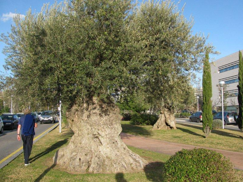 ... and 1000+ year old olive trees.