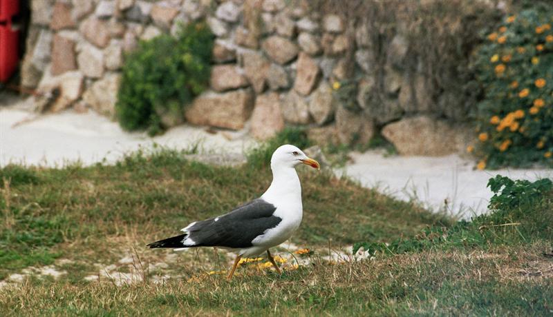 Gull, passant