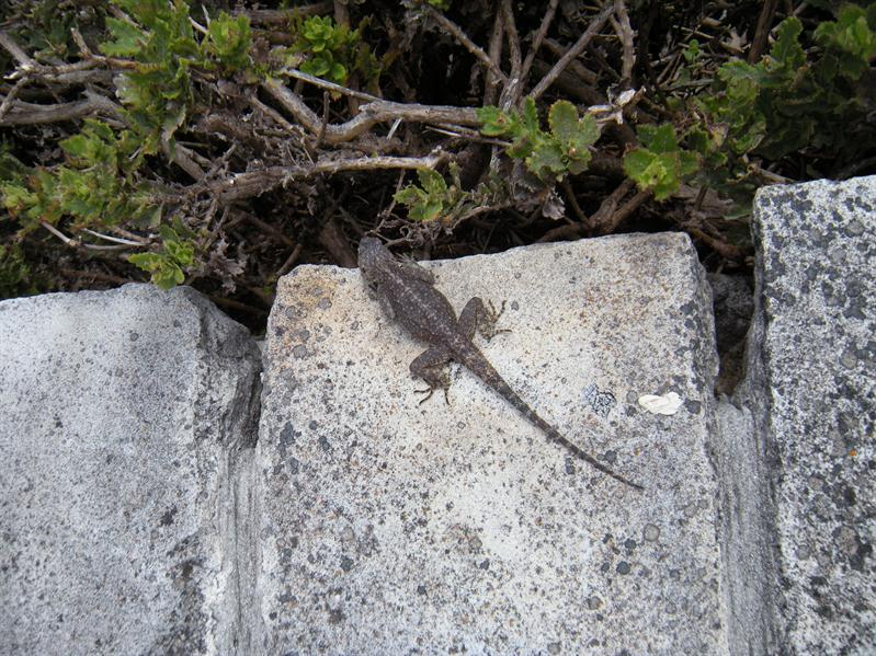 Lizard on top of Table Mountain