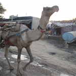 Camel hard at work