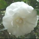 白色茶花 (6).JPG