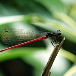 華麗扇蟌 Calicnemia sinensis (Chinese Mountain Damsel)