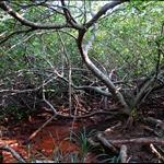 茂密的紅樹林