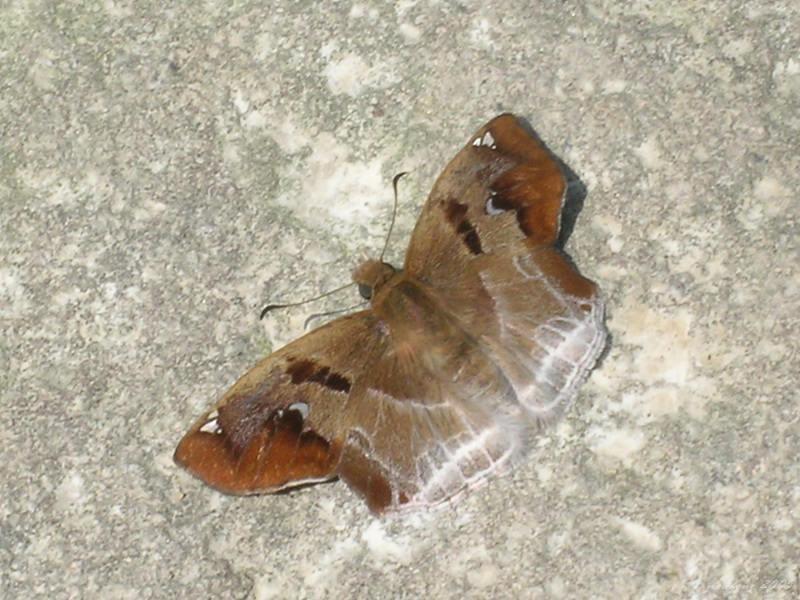 Odontoptilum angulatum 角翅弄蝶