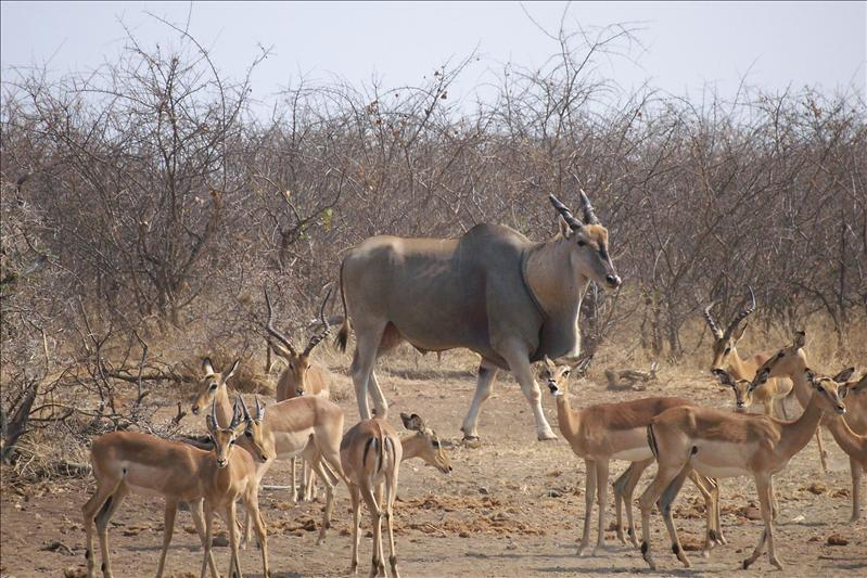 Eland / Elan (la plus grosse des antilopes)