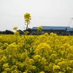 2012春遊濟州_三月油菜花