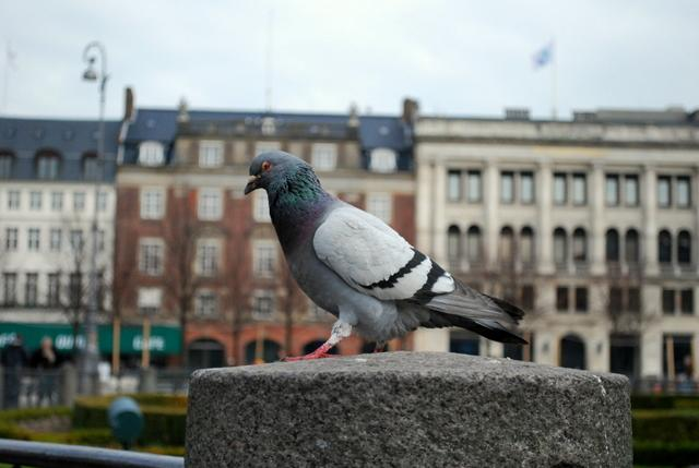 Pigeon statue