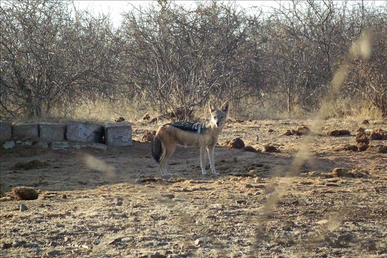 Black backed jackal / Chacal