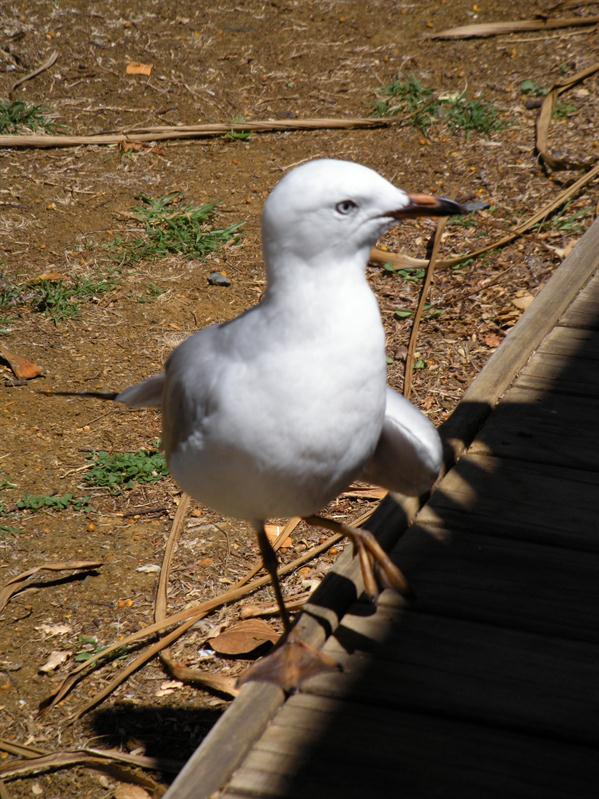 An injured seagull begging for food at lunch