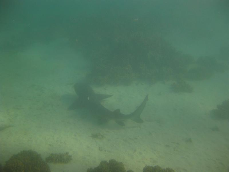 Reef Shark at Turquoise Bay !