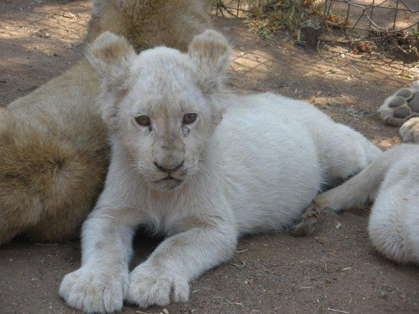 White cub / lionceau blanc