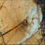 DSC_3835 黃蜻 (Wandering Glider) Pantala flavescens (等待核對).jpg