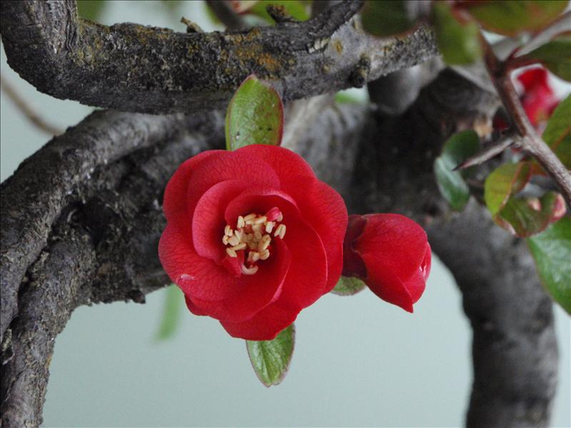 flowering bonsai, Lijiang