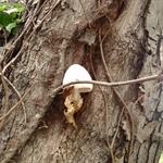 Mushroom in a Tree