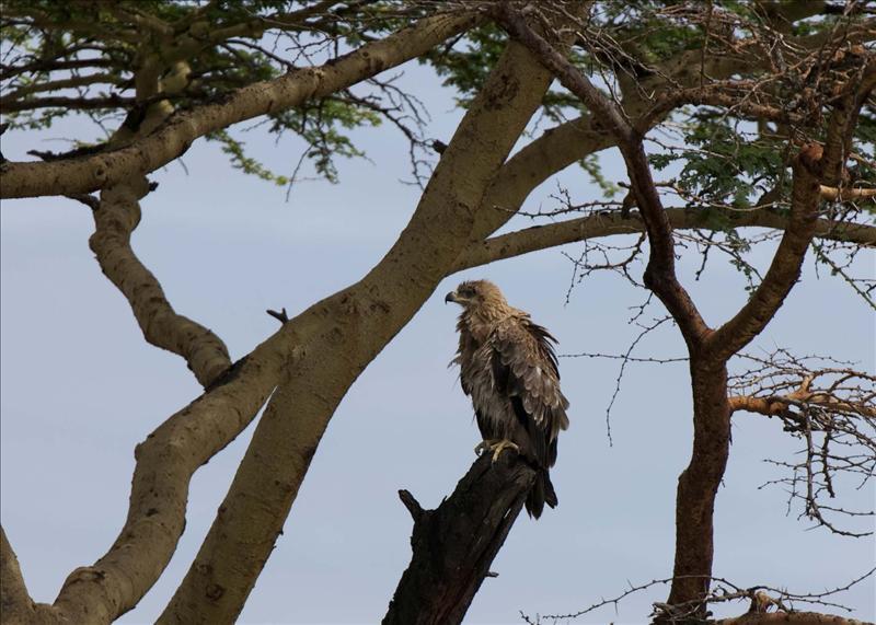 Twany Eagle