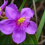 DSC_4619 野牡丹Melastoma candidum (Common melastoma).jpg