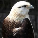 Roofvogels Texel 2013
