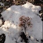 雪和櫻花 ==難得景象