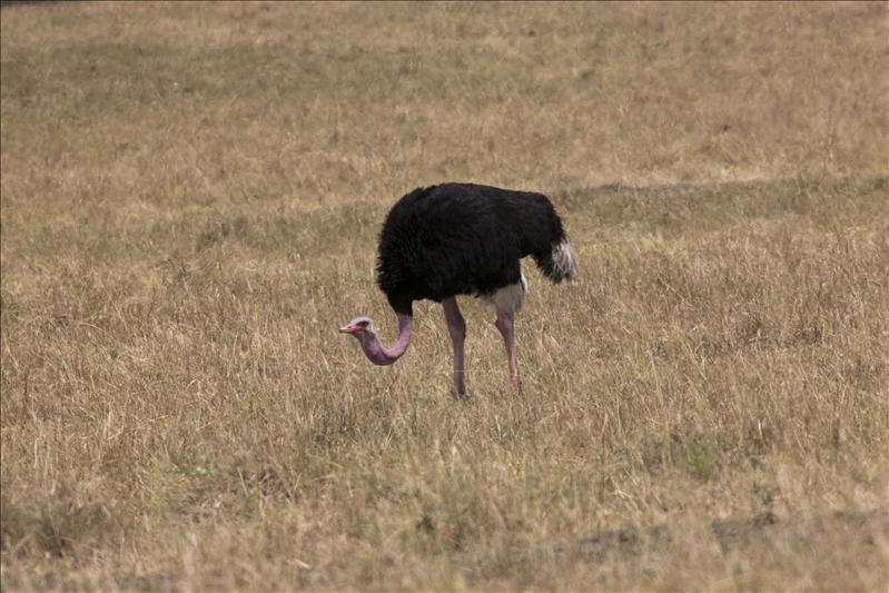 Masai Ostrich (Male)