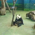 20091229台北市立動物園的熊貓  Panda in Taipei Zoo