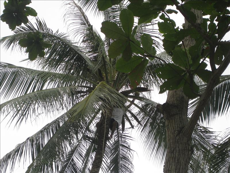 Picking coconuts on the resort