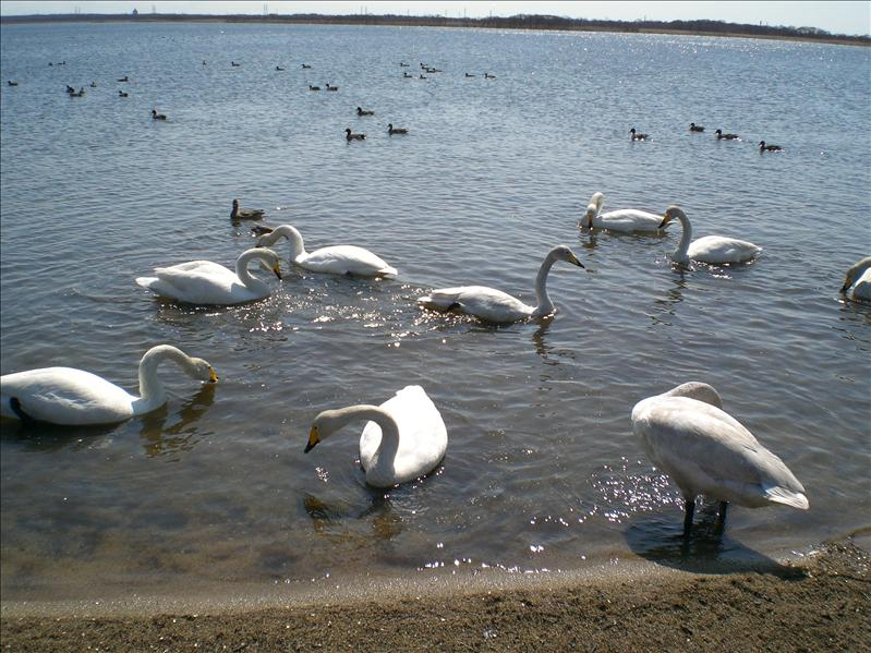 Swan lake (sea maybe)