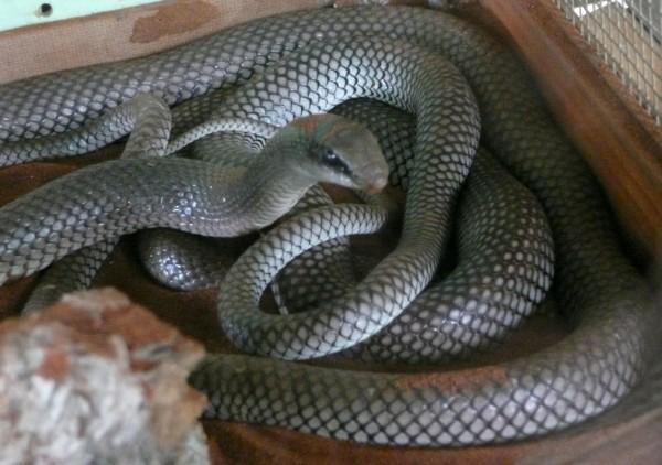 rufus beaked snake
