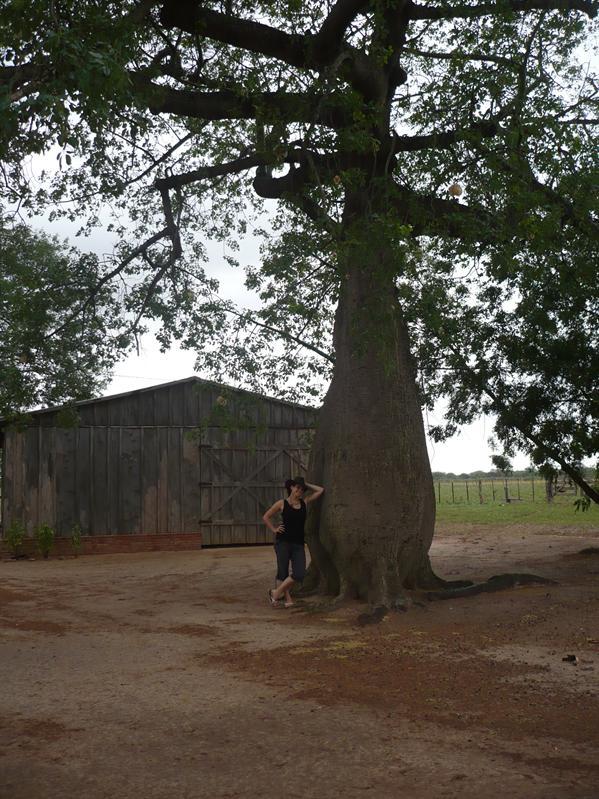 Flaschenbaum