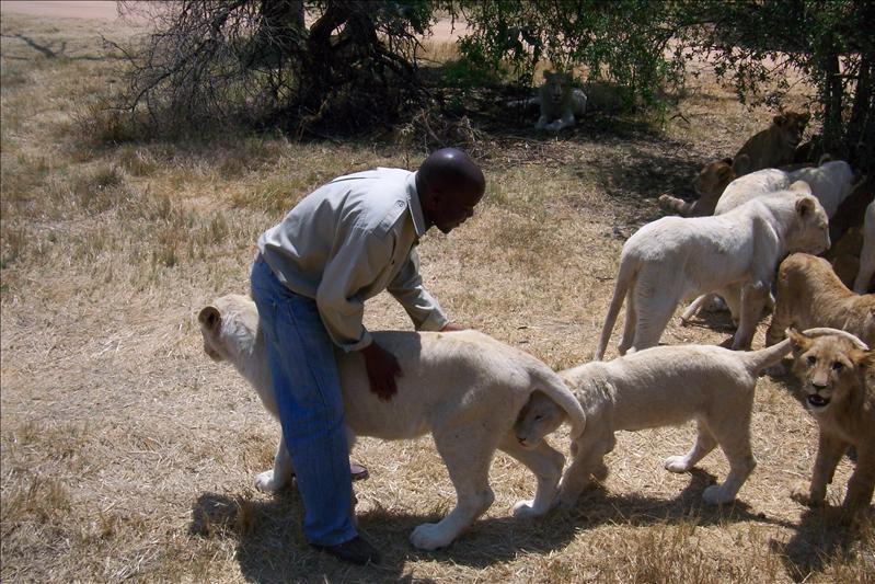 16 months cubs playing / lionceaux de 16 mois jouant