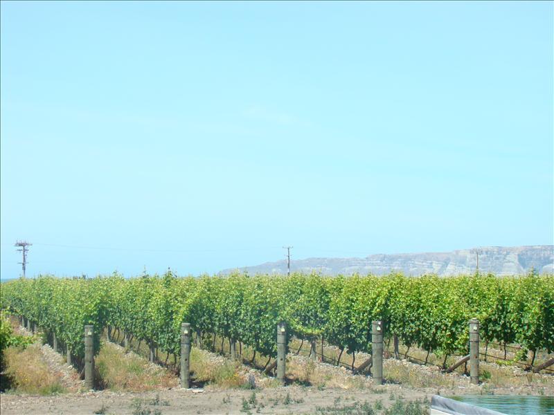 Vineyard - Hawkes Bay