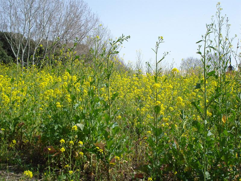 Rape blossoms