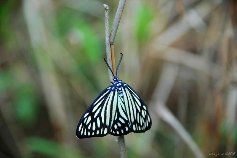 蝶形錦斑蛾 Cyclosia papilionaris  (等待核對)