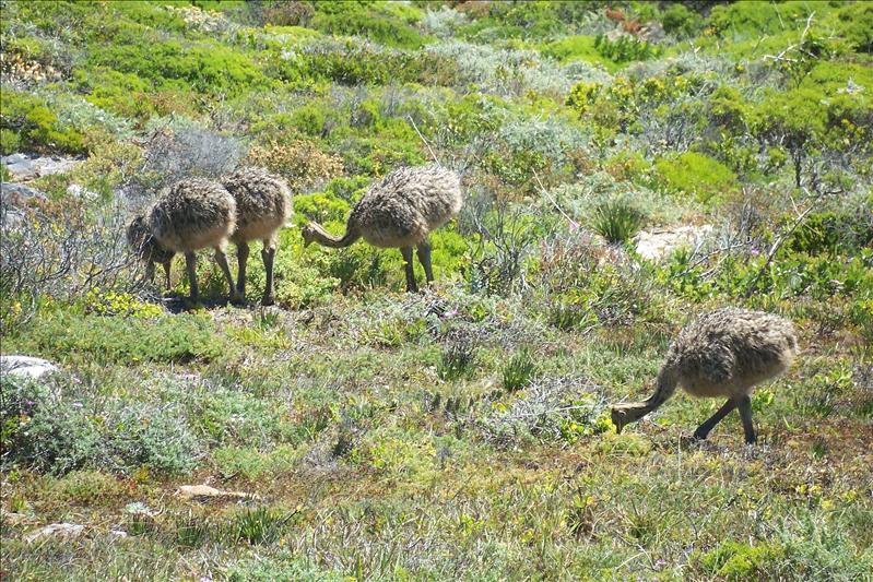 Ostrich Babies