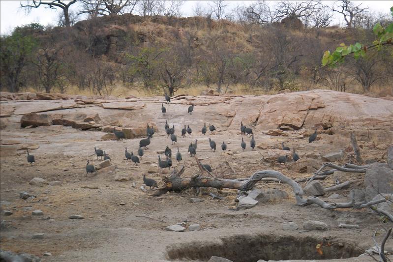 Guinea Fowls ( guinea, guinea, guinea!!!)