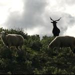 Sheep that chime.jpg