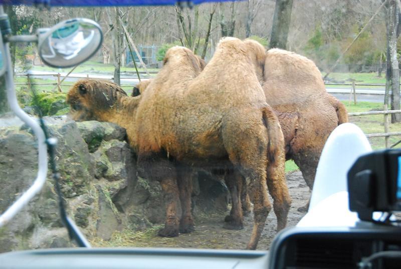 接下來要餵駱駝喔