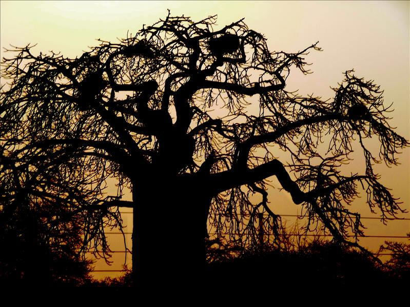 Sunset on baobab