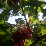They didnt pick the red grapes this year, so they were plentiful, and yummy!!