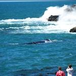 Southern right whales / Baleine noire (ou franche) du sud